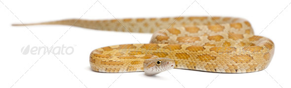 Goldest juvenile Corn Snake, Pantherophis guttatus, in front of white background - Stock Photo - Images