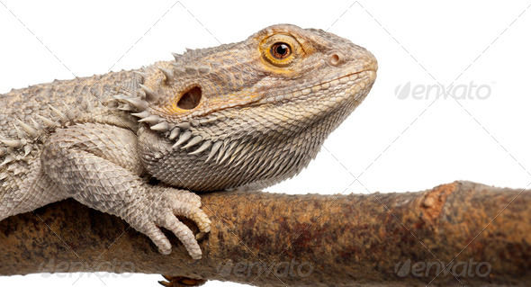 Close-up of Pogona lying on a branch in front of white background - Stock Photo - Images