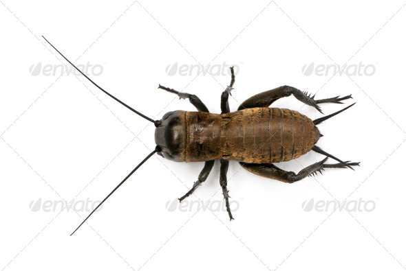 Mediterranean field cricket - Gryllus bimaculatus - Stock Photo - Images