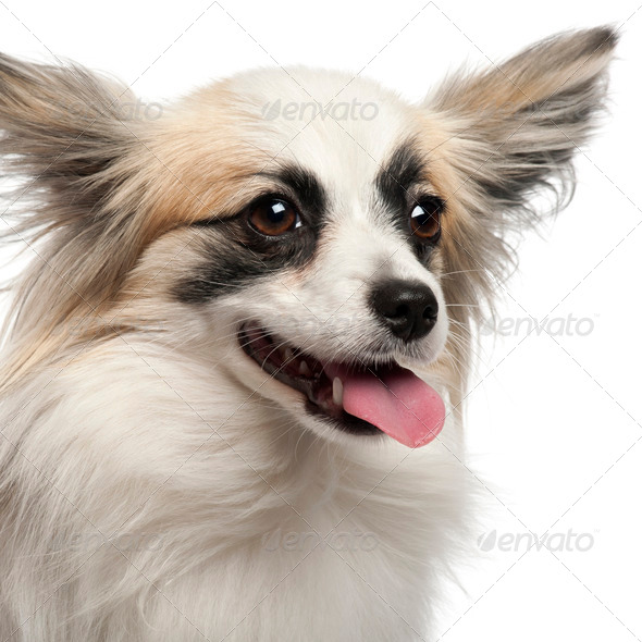Close-up of Papillon, 15 months old, in front of white background - Stock Photo - Images