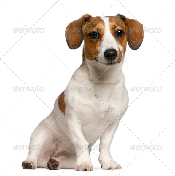 Jack Russell Terrier, 11 months old, sitting in front of white background - Stock Photo - Images