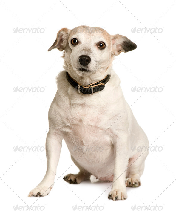 Old Crossbreed with a Jack Russell terrier, 8 years old, sitting in front of white background - Stock Photo - Images