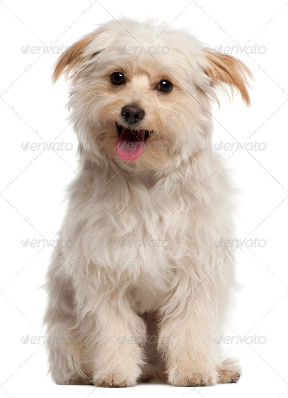 Small dog sitting and panting in front of white background - Stock Photo - Images