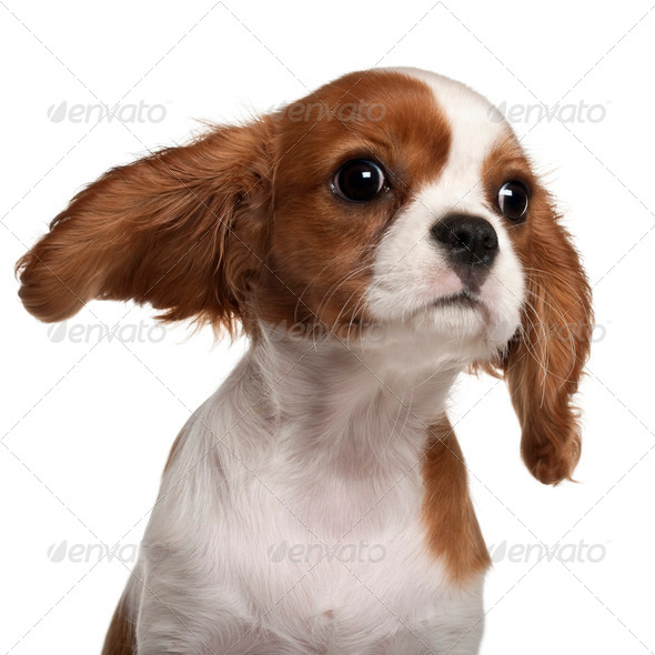 Close-up of Cavalier King Charles Spaniel puppy, 3 months old,  in front of white background - Stock Photo - Images