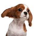 Close-up of Cavalier King Charles Spaniel puppy, 3 months old,  in front of white background