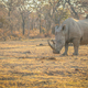 Big male White rhino standing in the grass. - PhotoDune Item for Sale