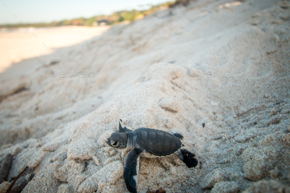 Green sea turtle hatchling on the beach. - Stock Photo - Images