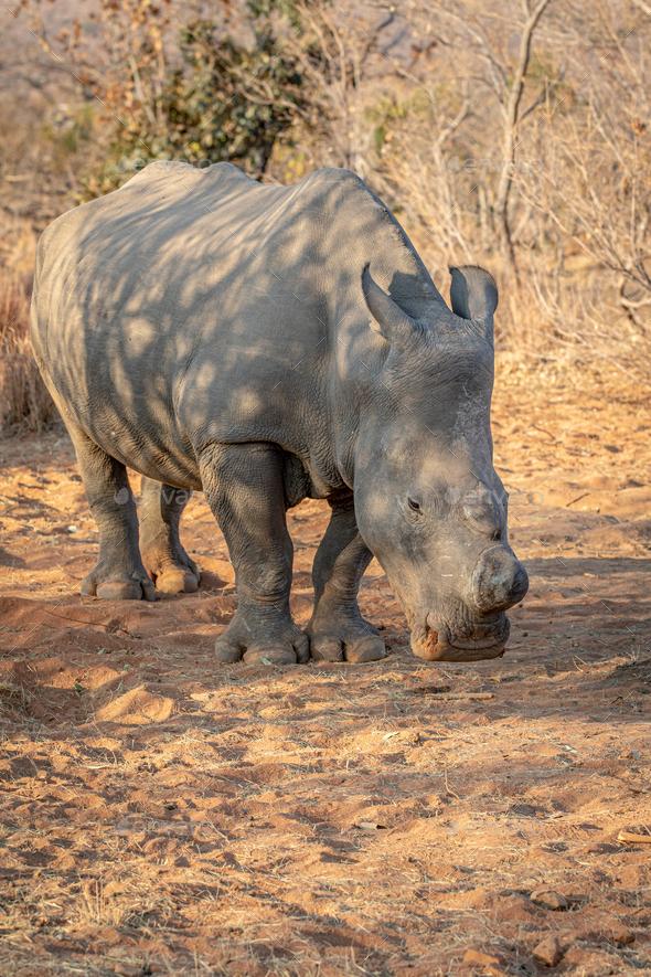 Dehorned White rhino grazing in the bush. - Stock Photo - Images
