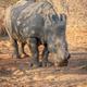 Dehorned White rhino grazing in the bush. - PhotoDune Item for Sale