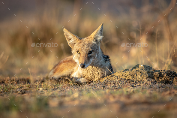 Black-backed jackal laying in the sand. - Stock Photo - Images