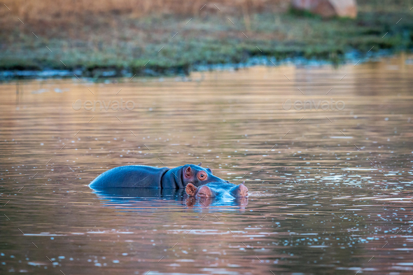 Baby Hippo calf on the back of his mother. - Stock Photo - Images