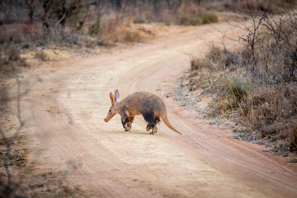 Aardvark crossing a bush road. - Stock Photo - Images