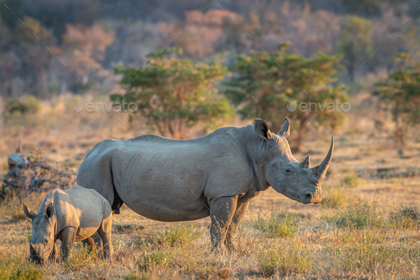 White rhino and baby calf standing in the grass. - Stock Photo - Images