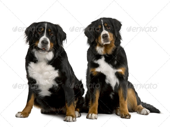 Two Bernese mountain dogs 2 years and 7 months old, sitting in front of white background - Stock Photo - Images