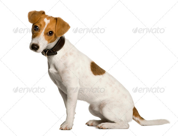 Jack Russell Terrier, 1 year old, sitting in front of white background, studio shot - Stock Photo - Images