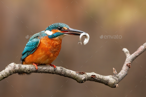 Common kingfisher, alcedo atthis, and the moment of the capture of its fish prey - Stock Photo - Images