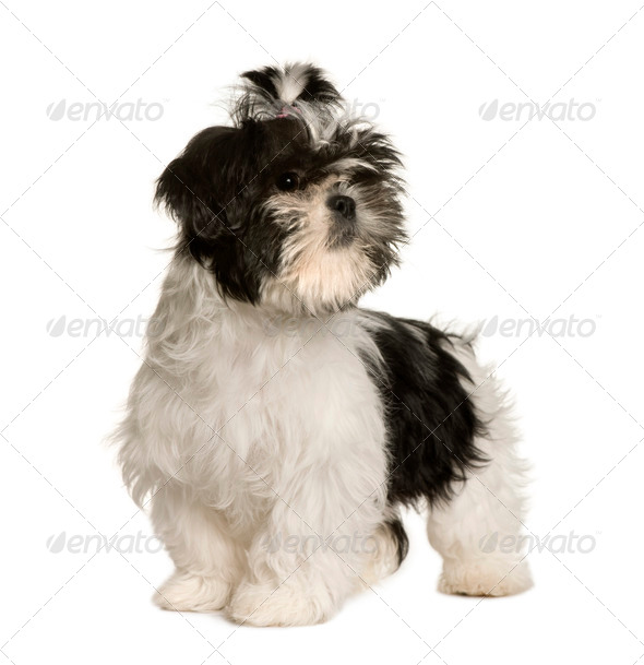 Shih Tzu, 3 months old, standing in front of white background, studio shot - Stock Photo - Images