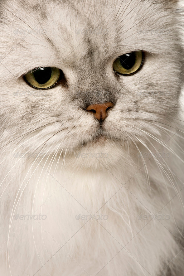 Old Silver Persian cat, 12 years old - Stock Photo - Images