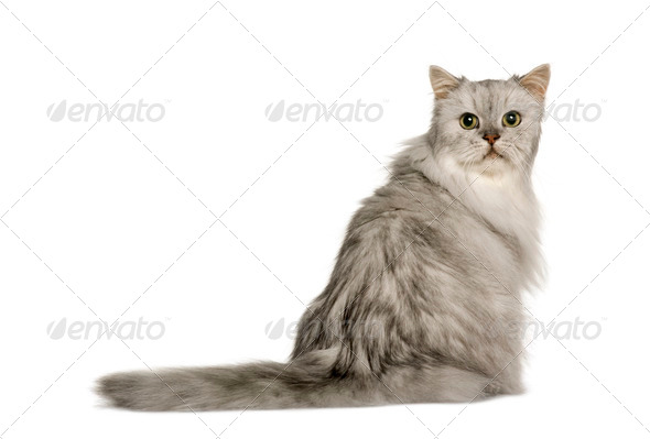 Old Silver Persian cat, 12 years old, sitting in front of white background, studio shot - Stock Photo - Images