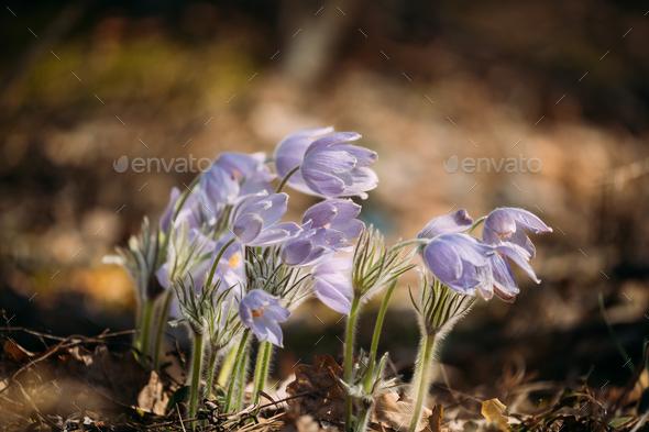 Beautiful Wild Spring Flowers Pulsatilla Patens. Flowering Bloom - Stock Photo - Images