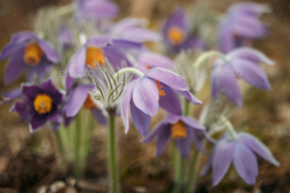 Belarus. Beautiful Wild Spring Flowers Pulsatilla Patens. Flower - Stock Photo - Images