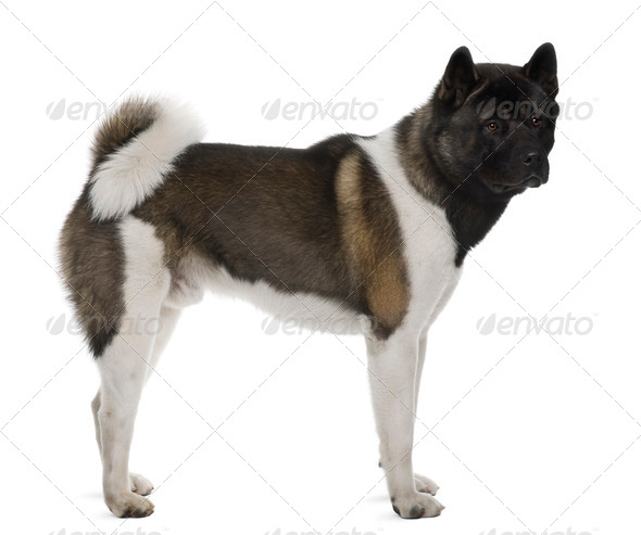 Akita Inu, 16 months old, standing in front of white background, studio shot - Stock Photo - Images