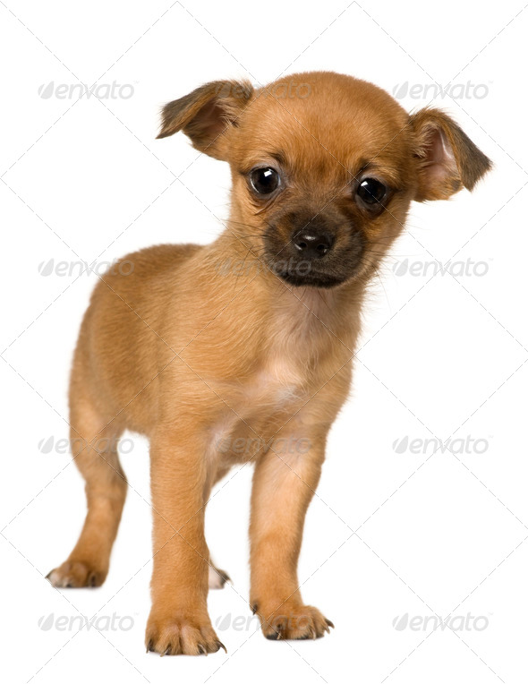 Puppy Crossbreed with a Shih Tzu and a Yorkshire Terrier, 2 months old, in front of white background - Stock Photo - Images
