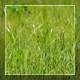 Green Grass In The Wind - VideoHive Item for Sale