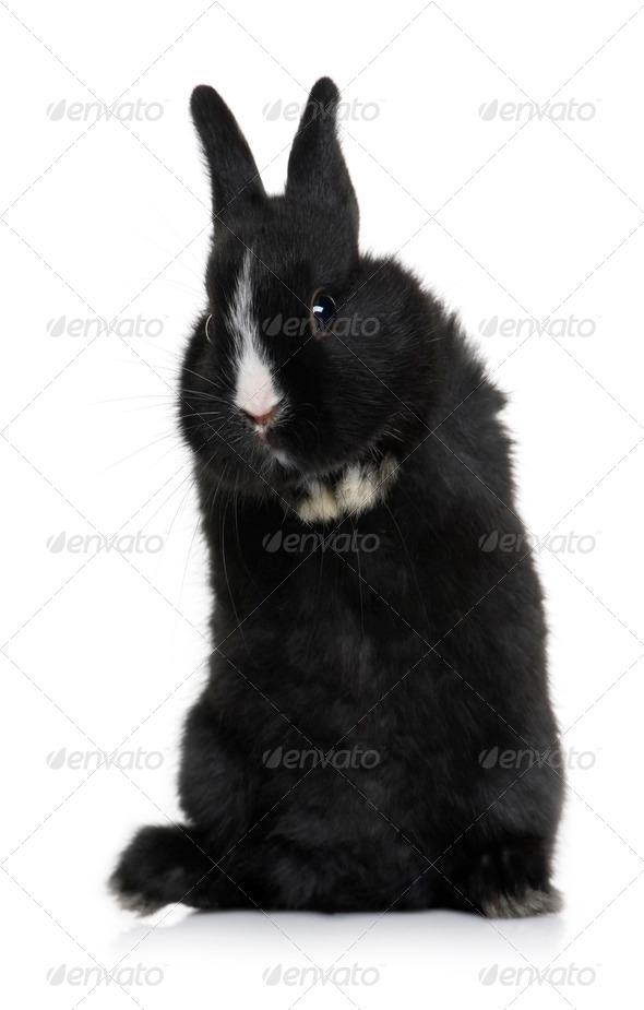 Black baby rabbit sitting in front of white background, studio shot - Stock Photo - Images