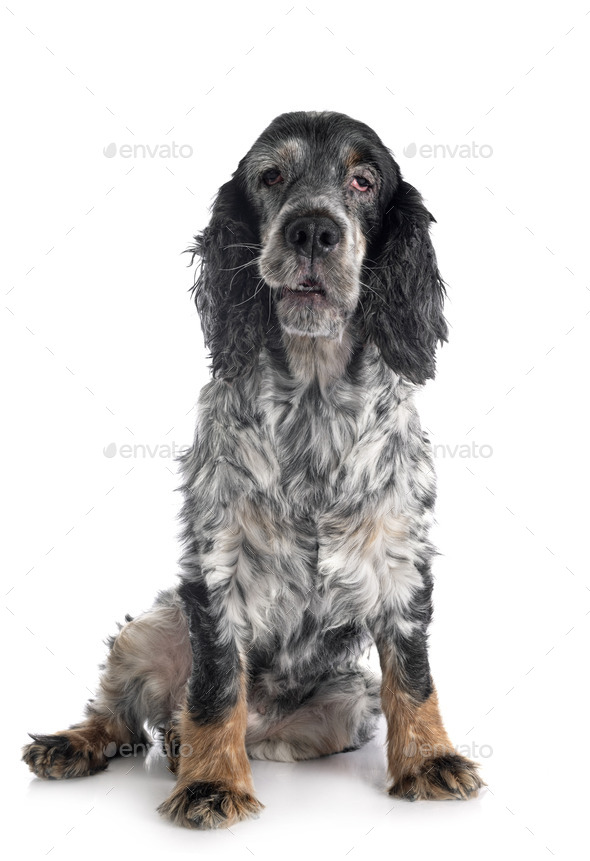 old english cocker - Stock Photo - Images