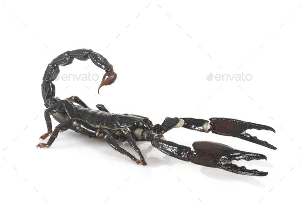 heterometrus spinifer in studio - Stock Photo - Images