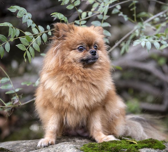 pomeranian in nature - Stock Photo - Images