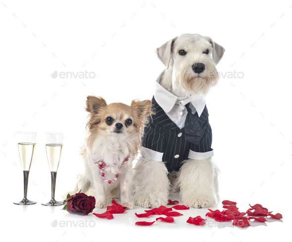 dogs and valentine day - Stock Photo - Images