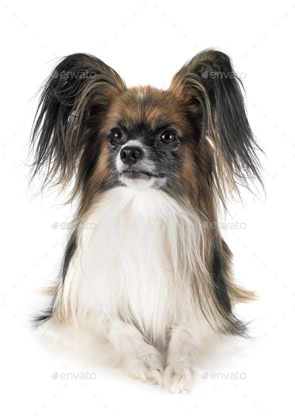 papillon dog in studio - Stock Photo - Images