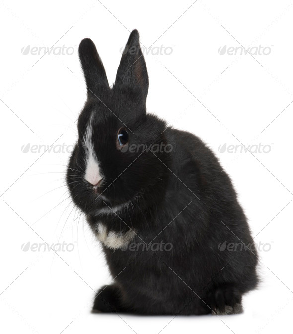 Portrait of Black baby rabbit sitting in front of white background, studio shot - Stock Photo - Images