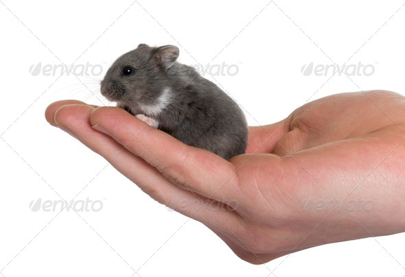 Mouse in a human hand in front of white background, studio shot - Stock Photo - Images