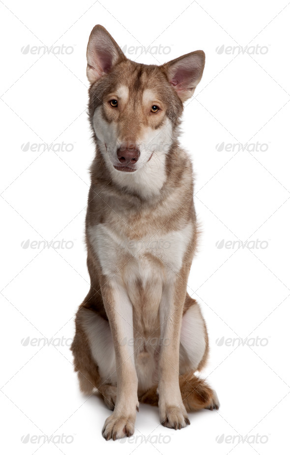 Saarlooswolf Dog sitting in front of white background - Stock Photo - Images