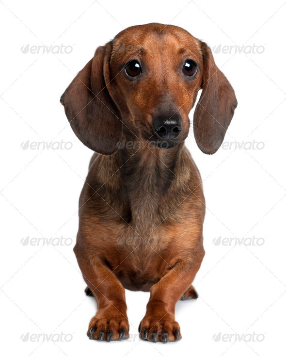 Dachshund, 20 months old, sitting in front of white background - Stock Photo - Images