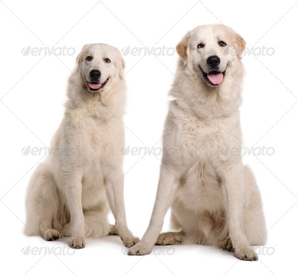 Two Great Pyreness or Pyrenean Mountain Dogs, 2 years old, sitting in front of white background - Stock Photo - Images
