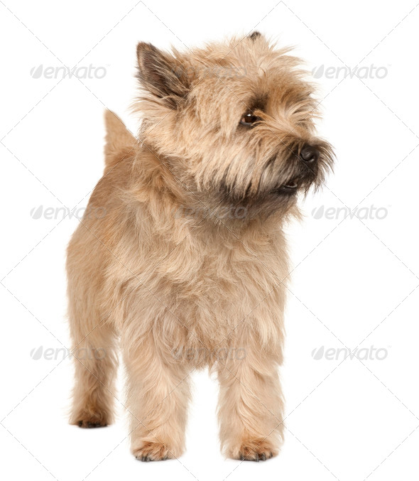 Cairn Terrier, 4 years old, standing in front of white background - Stock Photo - Images