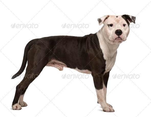 American Staffordshire Terrier, 4 years old, standing in front of white background - Stock Photo - Images