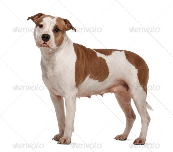 American Staffordshire Terrier, 2 years old, standing in front of white background - Stock Photo - Images