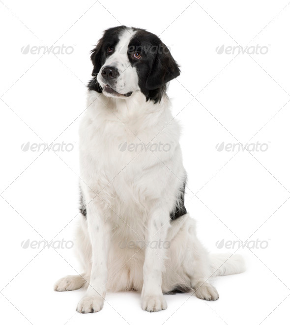 Black and white Landseer dog, 2 years old, sitting in front of white background - Stock Photo - Images