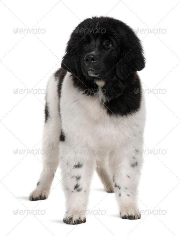 Black and white Newfoundland puppy, 5 months old, standing in front of white background - Stock Photo - Images