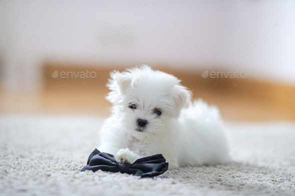 White cute maltese puppy, 2 months old looking at us - Stock Photo - Images