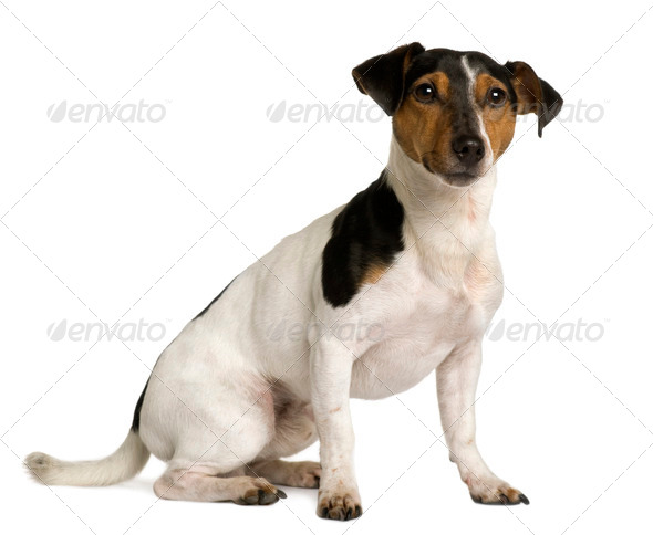 Jack Russell Terrier, 18 months old, sitting in front of white background - Stock Photo - Images