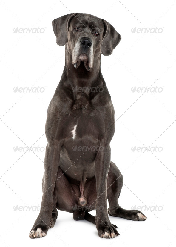 Great Dane, 3 years old, sitting in front of white background - Stock Photo - Images