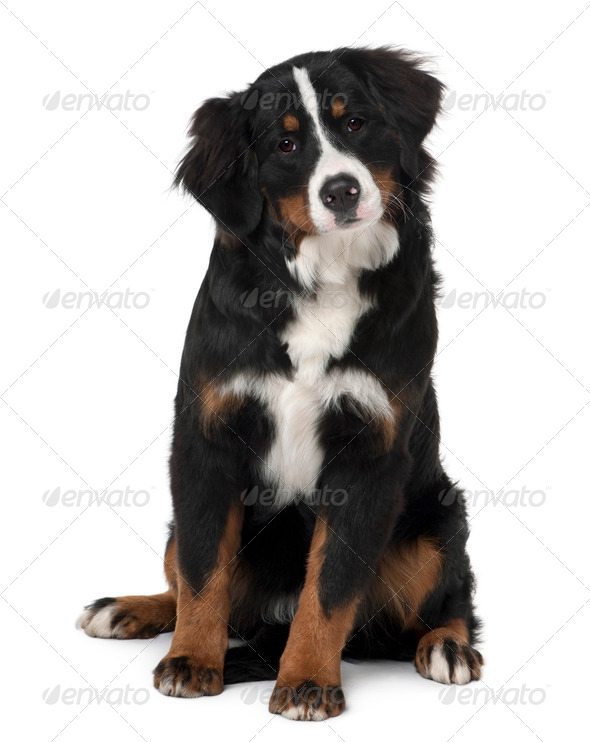 Bernese mountain dog puppy, 6 months old, sitting in front of white background - Stock Photo - Images