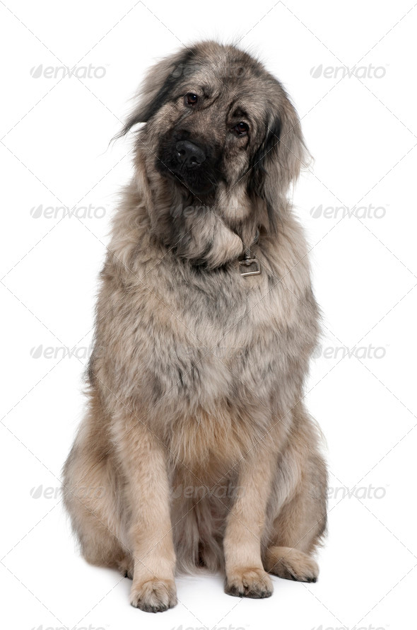 Sarplaninac or Yugoslav Shepherd dog, 3 years old, sitting in front of white background - Stock Photo - Images