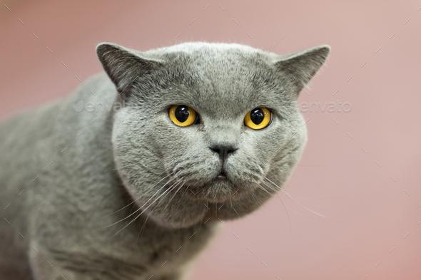 Close up British cat portrait - Stock Photo - Images